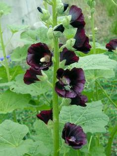 Alcea rosea Nigra | Wildflowers of the Mallow Family