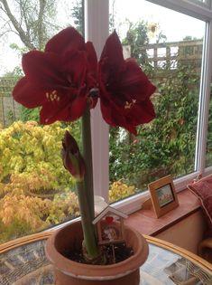Arum Lily xmas 2017 Lily, Xmas, Garden, Plants, Garten, Christmas, Lilies, Weihnachten, Gardens