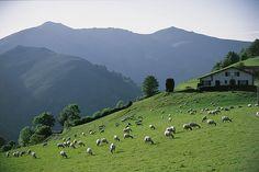 Brebis sur les hauteurs de St Etienne de Baigorry, Pays Basque, Pyrénées Atlantiques by www.pyrenees-basques.com, via Flickr
