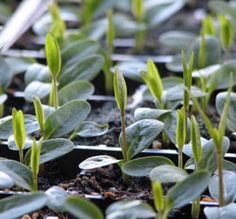 Growing milkweed for monarchs -- from seed
