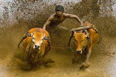 The Pacu Jawi (Cow's Race) - Muhammad Fadli, Indonesia