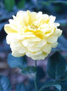 how to grow and care for roses    #roses  #growing  #tips