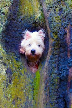 Not a squirrel but a Westie!
