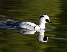 """Smew Drake or White Merganser. Merganser birds are fish-feeding ducks have serrated edges to their bills to help them grip their prey; they are therefore often known as """"sawbills"""". In addition to fish, they take a wide range of other aquatic prey, such as molluscs, crustaceans, worms, insect larvae, and amphibians; more rarely, small mammals and birds.  When not diving for food, they are usually seen swimming on the water surface, or resting on rocks in midstream."""