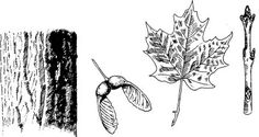 New silver maple tree seeds Ideas Pine Tattoo, Tree Roots Tattoo, Tree Tattoo Arm, Silver Maple Tree, Red Maple Tree, Maple Tree Seeds, Maple Tree Tattoos, Birch Tree Wallpaper, Small Palm Trees