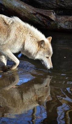 Father Wolf Wolf Call All About Wolves Red