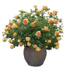 Rose cutout plant png