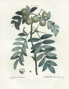 Pierre-Joseph Redouté, Sorbus domesstice, 1801