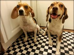 Earleen and Juliet - two sweet beagle girls. Earleen was rescued from small town shelter in Arkansas and Juliet was found in a park in Tennessee.  © Jing Geng
