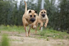 48 Best Presa Canario Dog Breed Images Big Dogs Cubs Doggies