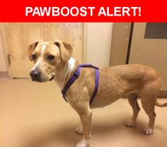 Is this your lost pet? Found in Colorado Springs, CO 80909. Please spread the word so we can find the owner!  Description: Very sweet, lab/pitt mix, found on Pike's Peak near Hancock  Nearest Address: 925 Homewood Point, Colorado Springs, CO 80903