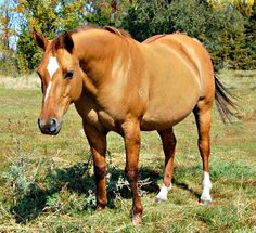 red dun horse - Google Search