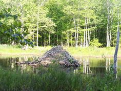Der Biber (Castoridae) ist das zweitgrösste lebende Nagetier. Biberbevorzugen Süsswasserseen, Teiche, Flüsse und Bäche in der Nähe von Wäldern.Diese erstaunlichen Tiere sind eine der wenigen Arte…