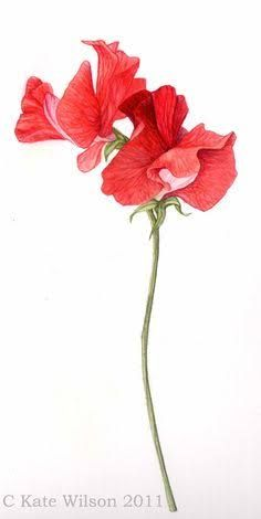 Image result for sweet pea botanical