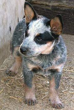 Australian Cattle Dogs - adorable!