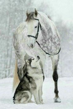 This Husky dog matches so well with this grey horse! #Jupinkle