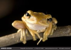 A Malaysian golden gliding frog (Polypedates leucomystax) photo by Joel Sartore.