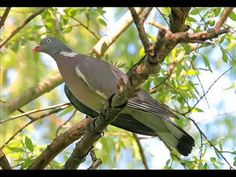 Pigeon, Birds, Youtube, Animals, Image, Fotografia, Animales, Animaux, Bird