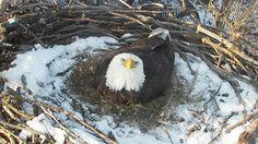 Nongame Wildlife Eagle Cam