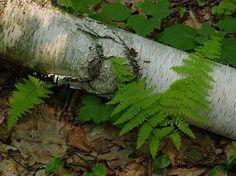 fallen white birch