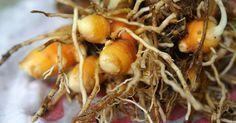 Como plantar um jardim de vegetais saudade da minha - Faire pousser du curcuma ...