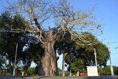 Baobás do Rio Grande do Norte | Baobás de Assú