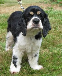 Lizzie is an adoptable Cocker Spaniel Dog in McMinnville, OR. My name is Lizzie, an adorable white and black Cocker Spaniel with cute patches of brown above my eyes which look like caterpillars! I hav...