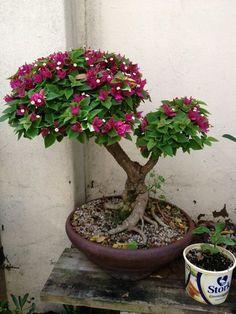 Bouganvilla ~ #bonsai Tree