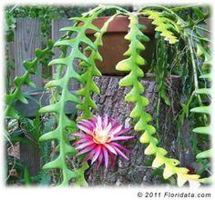 """Epiphyllum spp. """"Orchid cactus"""""""
