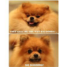 Simple Winnie Chubby Adorable Dog - 961b503d474e17203a385916598446ee--pomeranians-ps  Trends_1787  .jpg