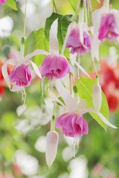 Fuchsia Beauty