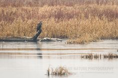 Juvenile Bald Eagle sits on a snag overlooking pool   Show Me Nature Photography
