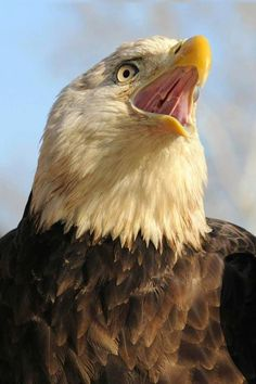 Eagle Pictures, Cute Pictures, Beautiful Birds, Animals Beautiful, White Tailed Eagle, Eagle Bird, Black Eagle, Birds Of Prey, Pet Birds