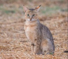 Cat Habitat, Wildlife Of India, Livestock Farming, Clouded Leopard, Cat Species, Jungle Cat, Big Cats, Beautiful Creatures, Animaux
