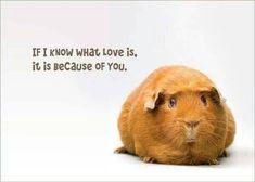 Love guinea pigs