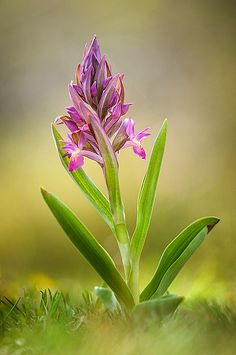 35PHOTO - stefano.tassano - Dactylorhiza sambucina