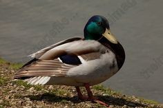 Duck bird   Duck Bird on 2145802650 4 Duck Bird Mallard Northern Jpg