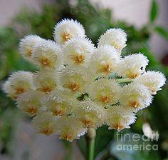 Hoya lacunosa