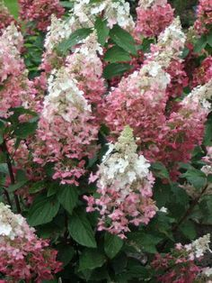 DESCRIPTION: A beautiful long-season bloomer featuring cones of mixed sterile and fertile white flowers in mid to late summer which fade to a deep pink; a stronger and denser version of its popular parent Pink Diamond hydrangea with fuller flower heads. BOTANICAL NAME: Hydrangea paniculata 'Pinky Winky'AVERAGE MATURE H
