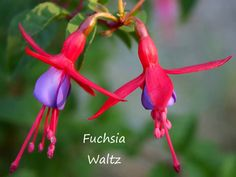 Fuchsia Waltz. A good sampling of gorgeous fuchsias--most are hardy in the Pacific Northwest.