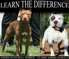 American Pit Bull Terrier vs. Classic American Bully