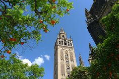 The Giralda tower seen from the Patio de los Naranjos of Seville Cathedral, Andalusia, Spain