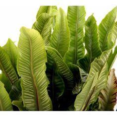 Hjortetunge - Asplenium scolopendrium - Bregner - Plantetorvet.dk Plant Leaves, Products, Plant, Gadget