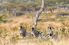 I can give or take elephants; I never can find the cheetah - but the zebras captivate me. They'd be one of the few things that would fit if we were lucky enough to live in a world that's black or white. Jodi Picoult  #bushlife #gameviewing #wildlifephotography #wildlifephoto #wildlife #natural #naturephotography #naturepics #natgeophotos #natgeo #natgeoyourshot #wildlifepics #wildlifeshots #canon_photo #canonphotography #photobug #photographer #photography #wildlifephotographer…