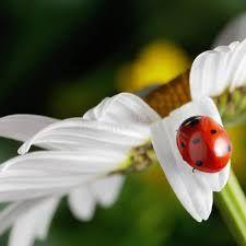 Image result for ladybug on flower