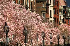 Google Image Result for http://www.boston.com/news/local/breaking_news/magnolias-in-bloom-2.JPG.jpg