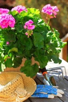 Photo about Pot of geraniums flowers with gardening tools. Image of bloom, cultivator, geranium - 2394017 Pink Geranium, Geranium Flower, Beautiful Gardens, Beautiful Flowers, Growing Geraniums, Grandmas Garden, Bloom, Malva, Plantation