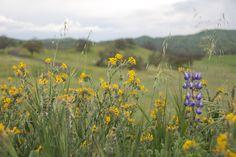 More wildflowers in bloom at Ventana Hills