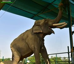 #PictureOfTheDay How adorable does #Gajraj look as he enjoys his new structural enrichment at the #ElephantConservationandCareCenter?