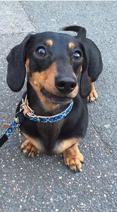 ❤️ Dachshund Puppies, Weenie Dogs, Dachshund Love, Cute Puppies, Cute Dogs, Dogs And Puppies, Daschund, Doggies, Miniature Dachshunds